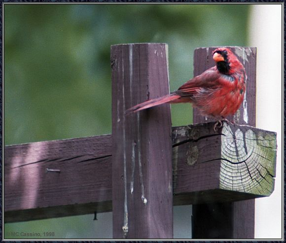 July Birds -- cardinals --> Northern Cardinal; Image ONLY