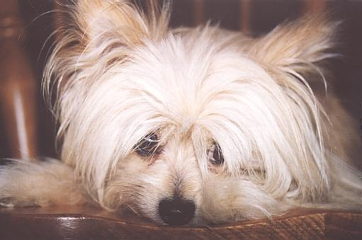 Charlie1-White Silky Terrier Dog-by Fiona Anderson.jpg