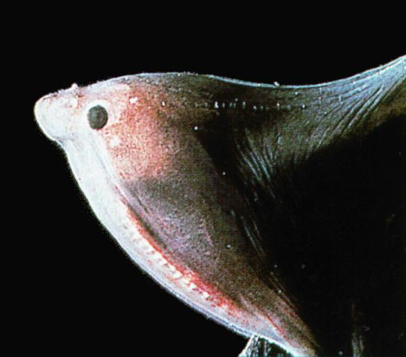 Gulper Eel - Deepsea-Gulper eel J01-upper jaw closeup.jpg [1/1]; Image ONLY