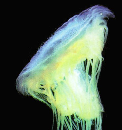 Deep sea jellyfish; Image ONLY