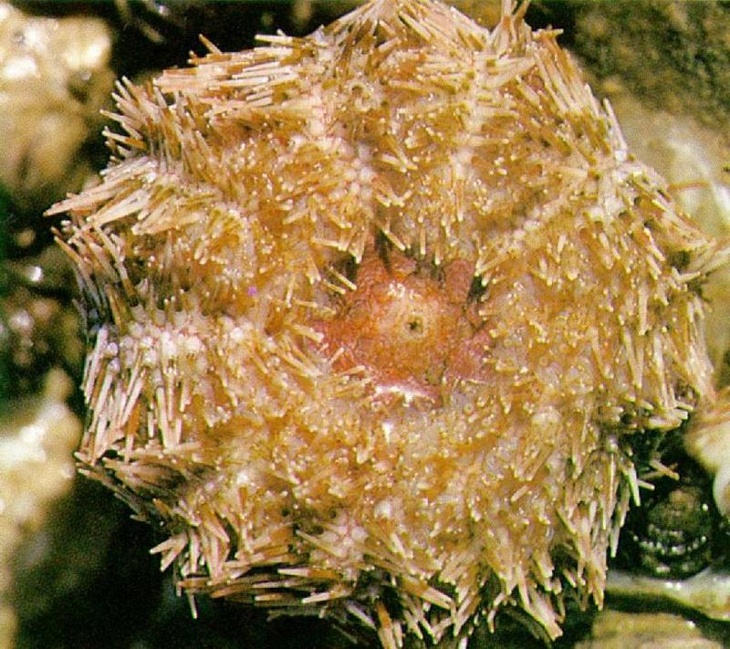 Far Eastern Violet Sea Urchin (보라성게); DISPLAY FULL IMAGE.