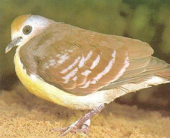 Re: Looking for pictures of DOVES!! -- Golden-heart Dove; Image ONLY