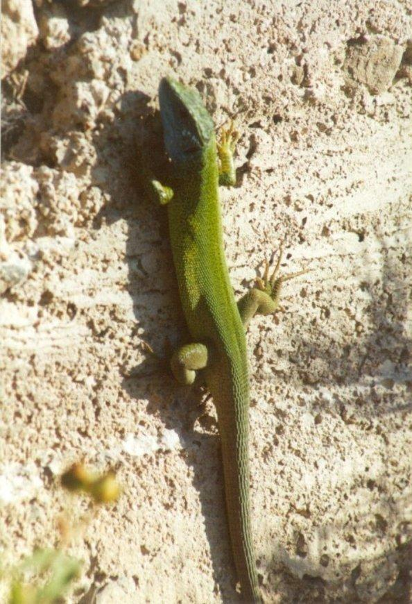 Frogs and Lizards from Greece - Green_Lizard1.jpg; Image ONLY