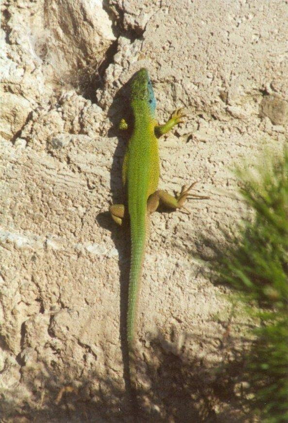 Frogs and Lizards from Greece - Green_Lizard2.jpg; Image ONLY