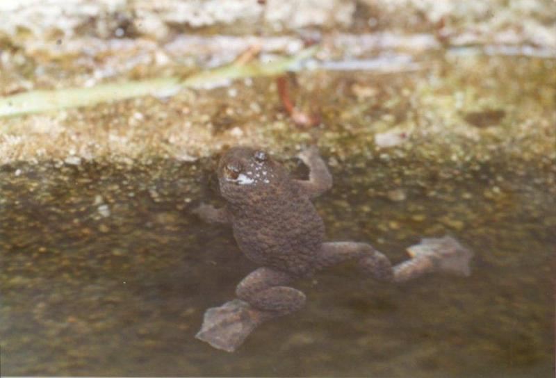 Frogs and Lizards from Greece - Yellow-bellied Toad4.jpg; DISPLAY FULL IMAGE.