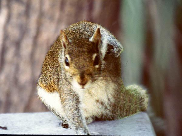 Squirrels and more squirrels - Squirrel_7.jpg (1/1); Image ONLY
