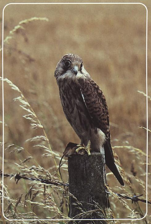 Juvenile Common Kestrel; Image ONLY