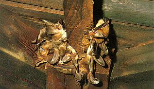 brown long-eared bat (토끼박쥐); Image ONLY