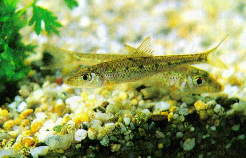 Korean Long-nosed Barbel (참마자); DISPLAY FULL IMAGE.