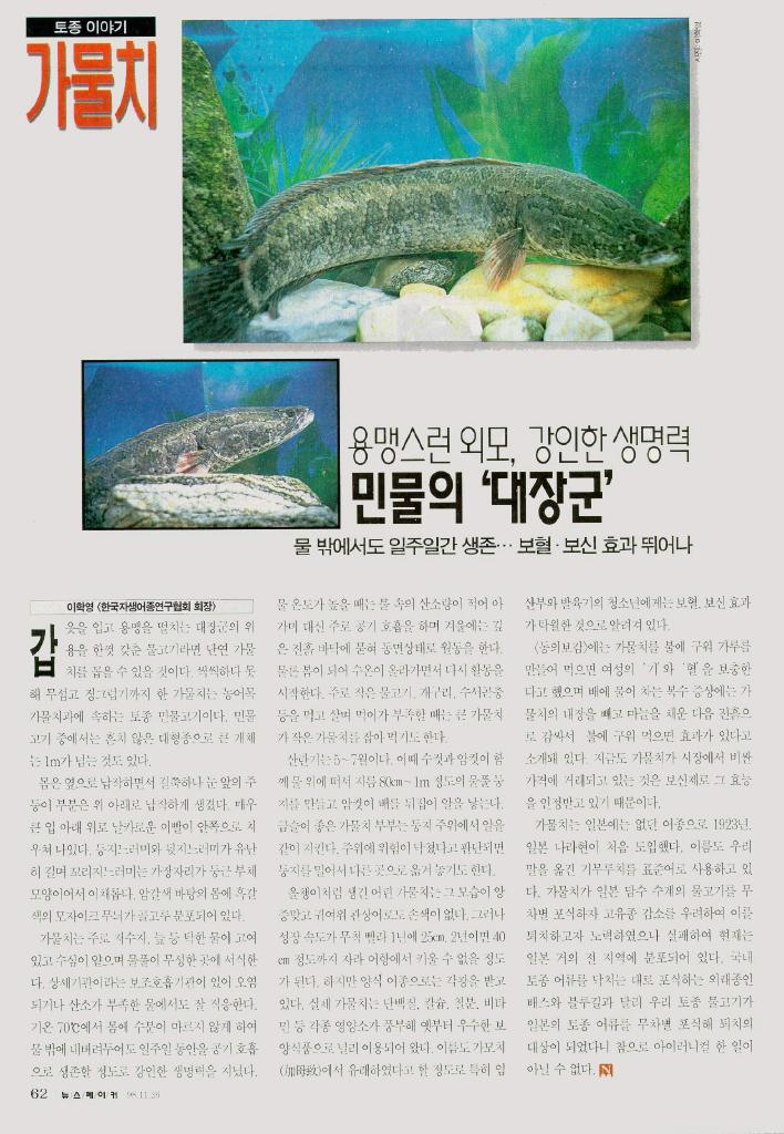 Korean Fish - Northern Snakehead (가물치); Image ONLY