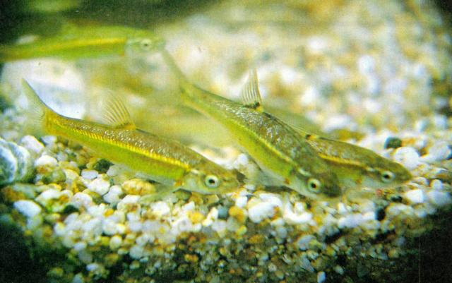 Korean Freshwater Fish - Kumgang Minnow <!--금강모치-->; Image ONLY