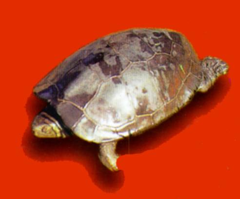 Chinese Three-keeled Pond Turtle (남생이); Image ONLY