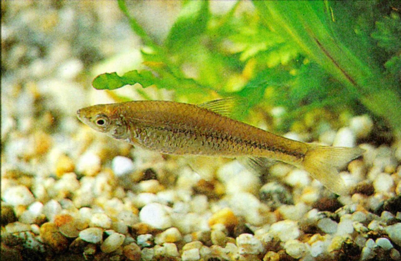 Freshwater fish korea - Korean Topmouth Gudgeon J02 Freshwater Fish Jpg