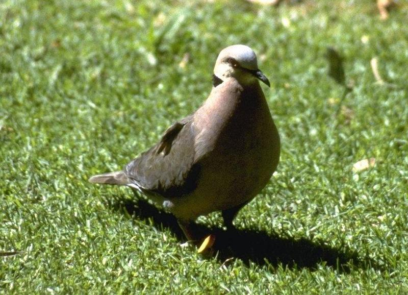 Re: Doves - Cape Turtle Dove; DISPLAY FULL IMAGE.