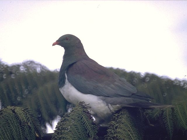Re: Doves - New Zealand Pigeon; Image ONLY