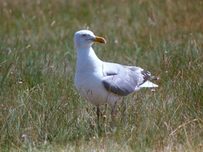 Herring Gull - herring_gull.jpg; Image ONLY