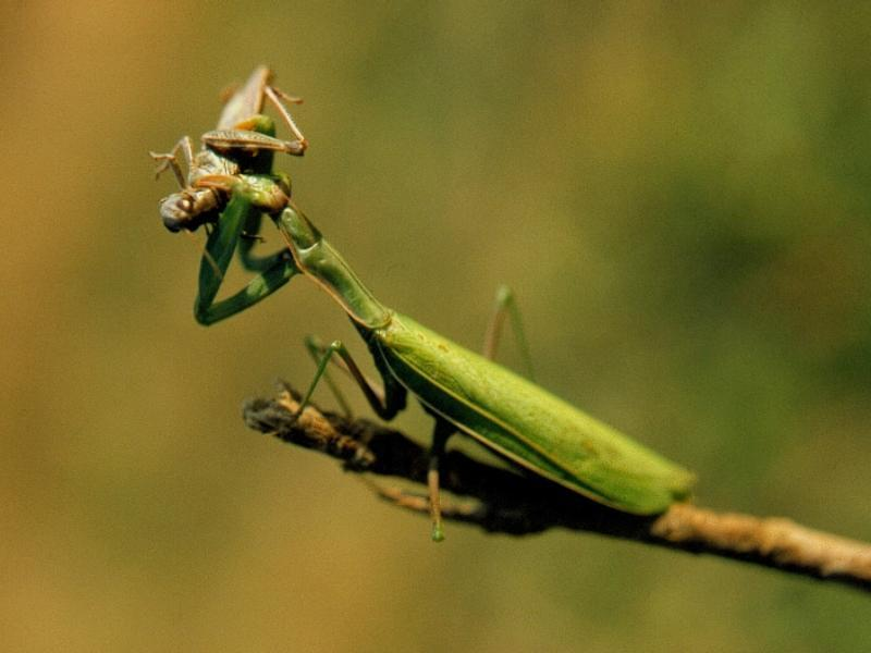 Mantis Eating Grasshopper - Maybe it's last meal before winter; Image ONLY
