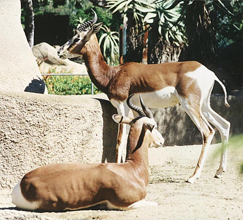 Animal pictures from my trip to California - Antelopes in San Diego Zoo - Mhorr gazelle (Dama Gazelle subspecies); DISPLAY FULL IMAGE.