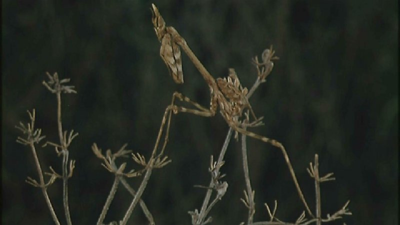D:\Microcosmos\Mantis [1/6] - 006.jpg (1/1) (Video Capture); DISPLAY FULL IMAGE.
