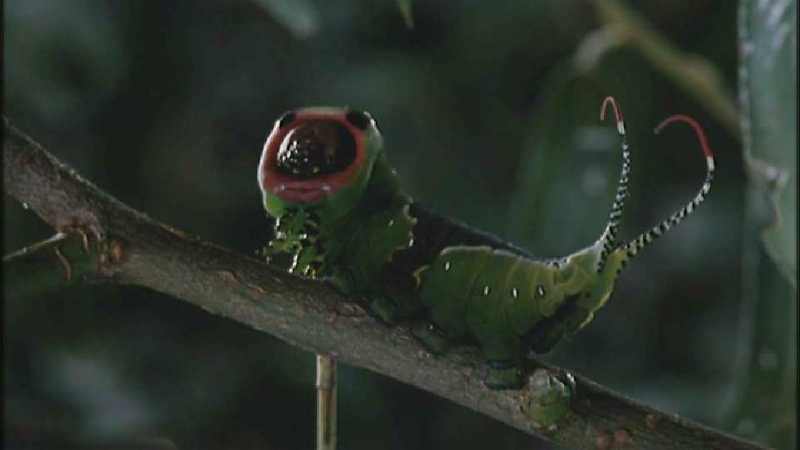 D:\Microcosmos\Great Peacock Moth Caterpillar [01/12] - 002.jpg (1/1) (Video Capture); DISPLAY FULL IMAGE.