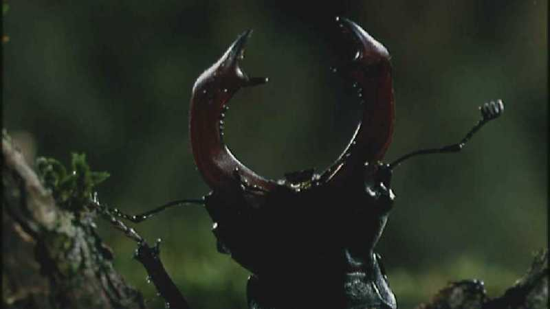[Microcosmos - European Stag Beetle] [1/7] - 003.jpg (1/1) (Video Capture); DISPLAY FULL IMAGE.