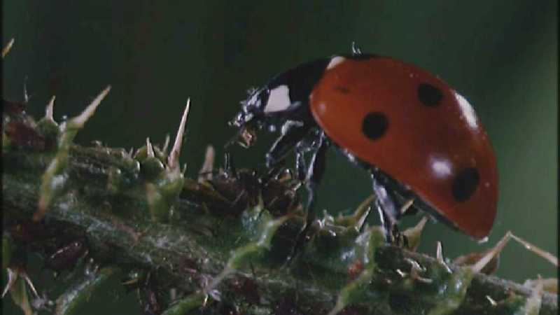 Microcosmos\Ladybug, Plant Louse, Carpenter Ants [01/13] - 082.jpg (1/1) (Video Capture); DISPLAY FULL IMAGE.