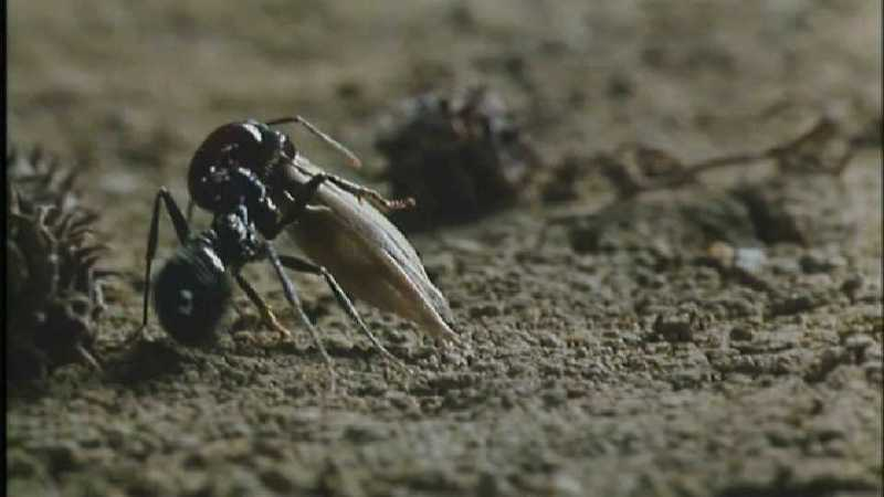 Microcosmos\Gathering Ants [2/3] - 189.jpg (1/1) (Video Capture); DISPLAY FULL IMAGE.