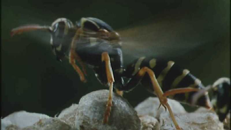 D:\Microcosmos\Polist Wasp] [02/22] - 191.jpg (1/1) (Video Capture); DISPLAY FULL IMAGE.