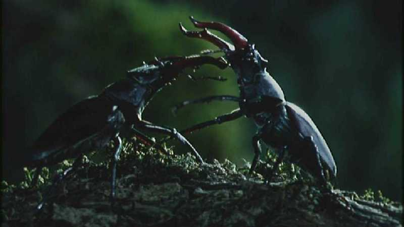[Microcosmos - European Stag Beetle] [4/7] - 277.jpg (1/1) (Video Capture); DISPLAY FULL IMAGE.