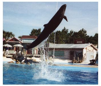 PILOT WHALE Jumping-at Sea World of Florida-by World Traveler.jpg