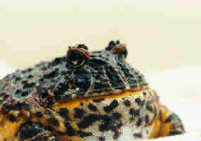 Re: Argentine Horned Frogs (pacman) - Ceratophrys ornata; Image ONLY