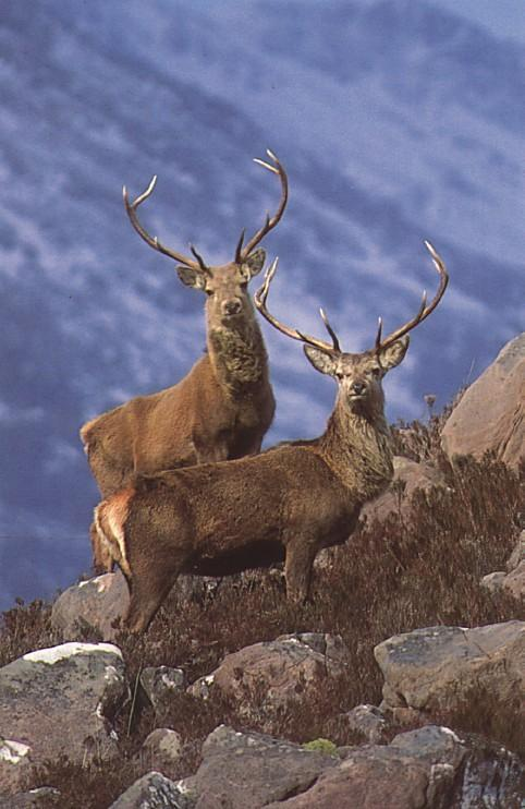 Red Deer-Scotand; Image ONLY
