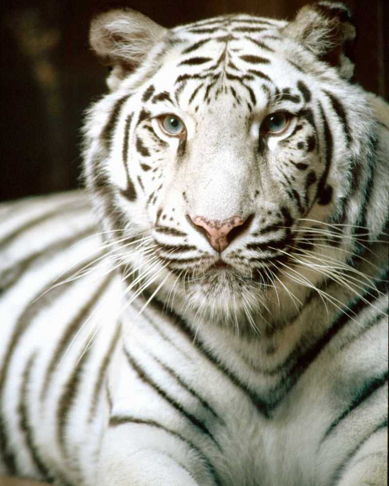 White tiger close up face - photo#7