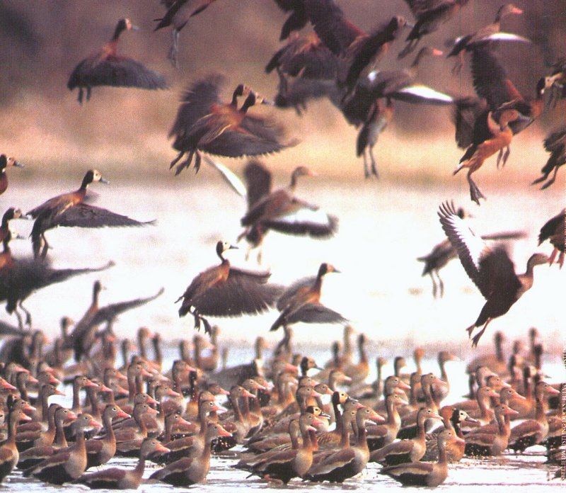 Whistling Ducks; DISPLAY FULL IMAGE.