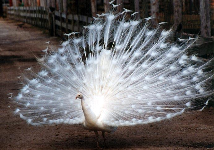 white peacock 2; Image ONLY