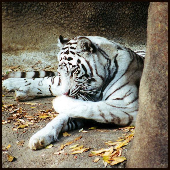 White tiger groom-by Denise McQuillen.jpg