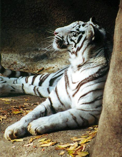 White tiger head back-by Denise McQuillen.jpg