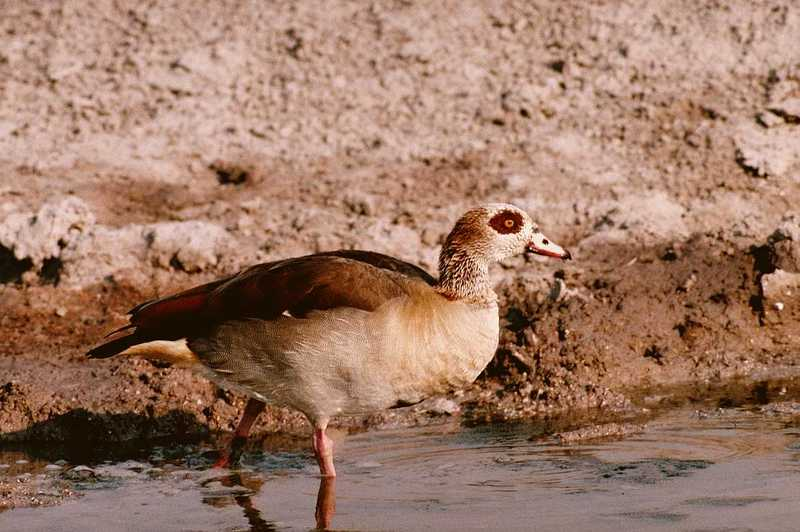 Egyptian Goose - aau50202.jpg; DISPLAY FULL IMAGE.