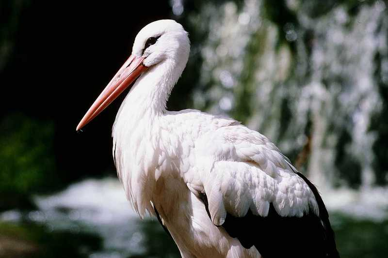 European White Stork; DISPLAY FULL IMAGE.