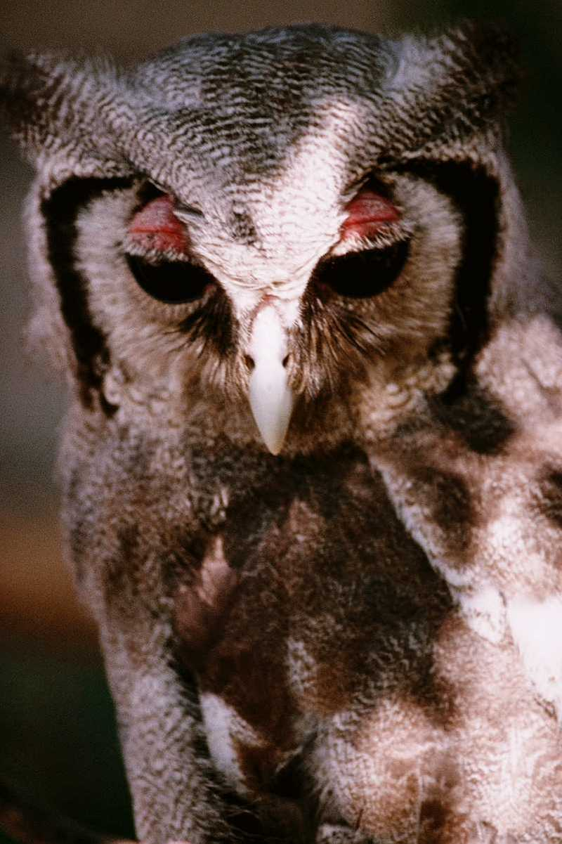 OWL - abb50122.jpg --> Verreaux's Eagle-Owl (Bubo lacteus); DISPLAY FULL IMAGE.