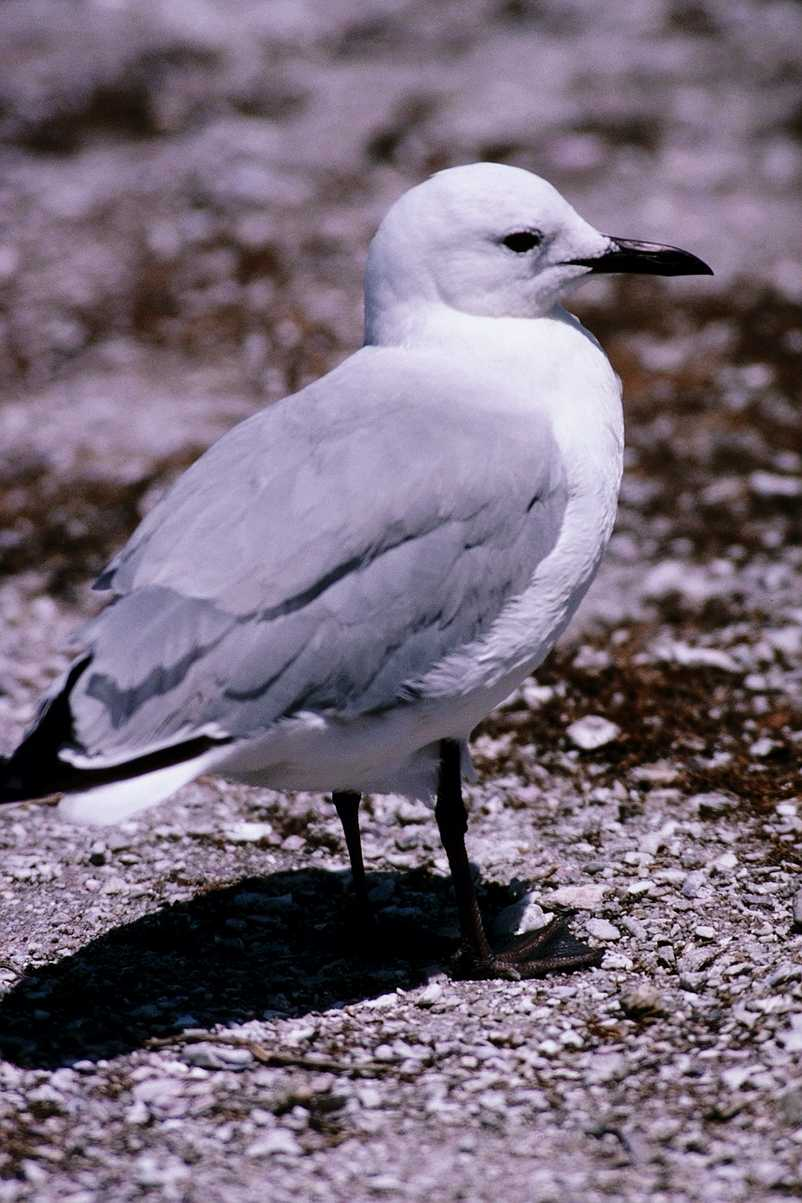 abj50135.jpg -- Hartlaub's Gull or King Gull, (Larus hartlaubii); Image ONLY