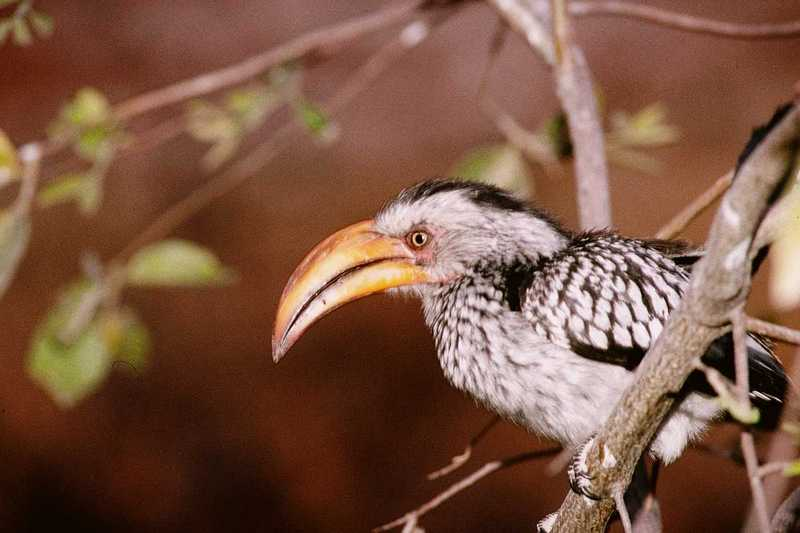 African Hornbill (3) --> Southern Yellow-billed Hornbill; DISPLAY FULL IMAGE.