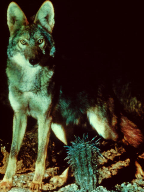 Coyote in desert night; Image ONLY