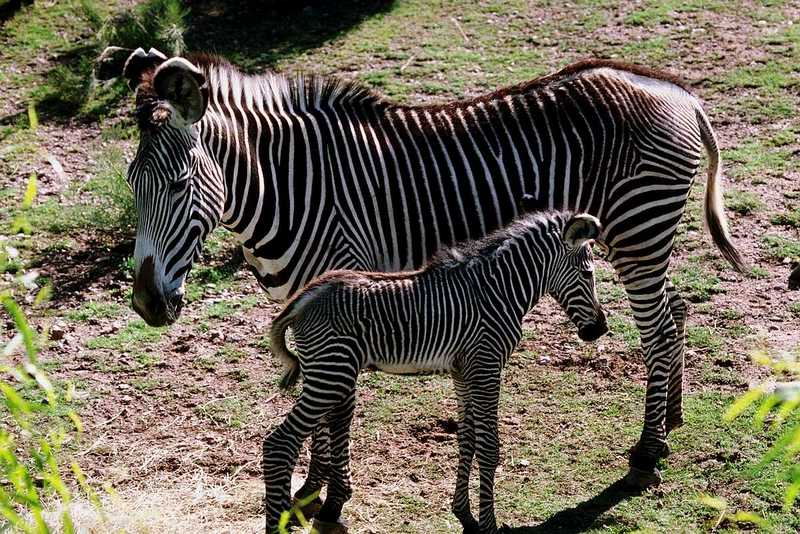 Zebra (11); DISPLAY FULL IMAGE.