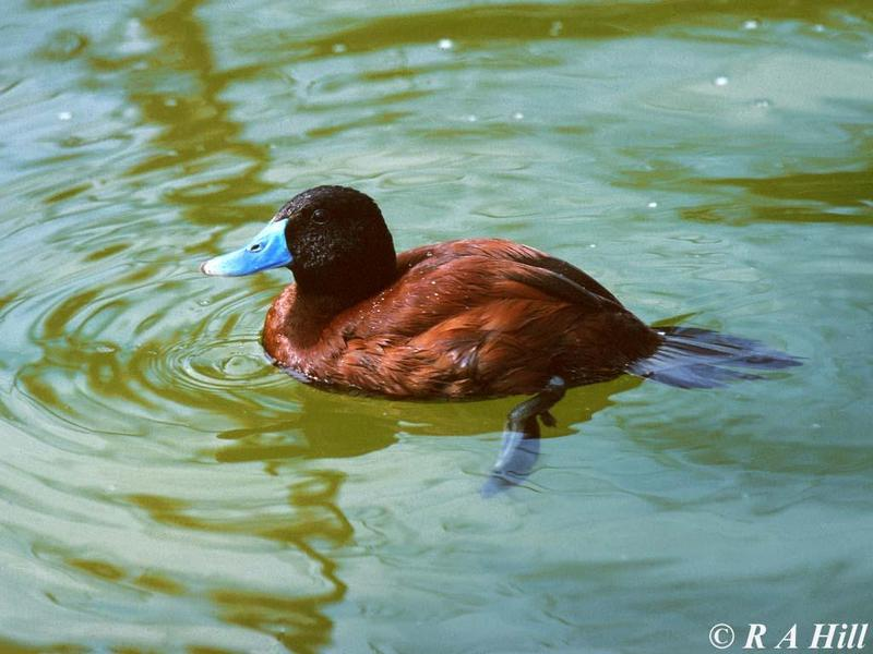 Argentine Ruddy Duck; DISPLAY FULL IMAGE.