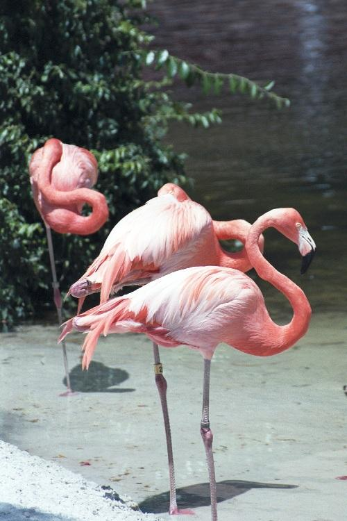 Glad to share - Flamingos - as01p038.jpg; Image ONLY