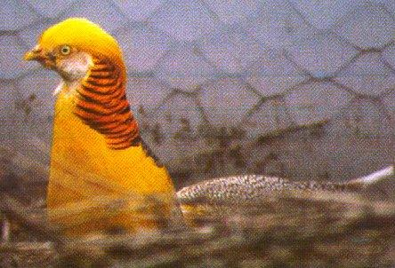 Yellow Golden Pheasant; Image ONLY