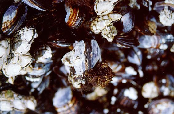 Barnacles and Mussels - Cape Perpetua, OR - moll01.jpg; Image ONLY