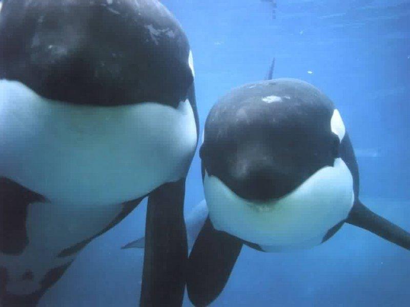 orca s-Killer Whales-by Dien Jansen.jpg