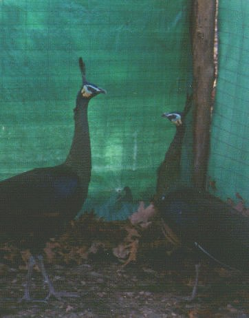 Java Green Peafowl; Image ONLY